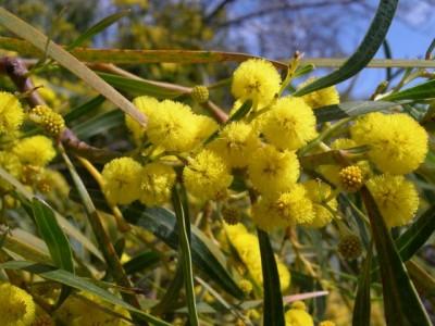 mimosa-8-marzo